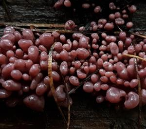 Purple Jellydisc ascocoryne sarcoides